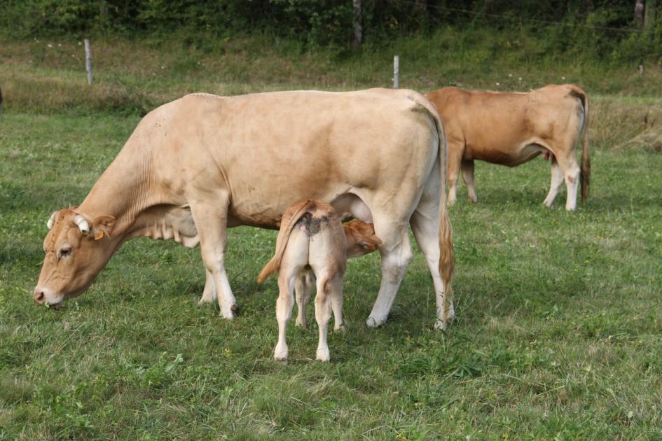 troupeau-blond-daquitaine-a-vendre-2